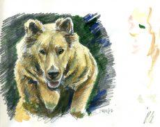 "Harzer Fuchs ""Yuma"", Skizze, Bleistift und Aquarellfarbe"